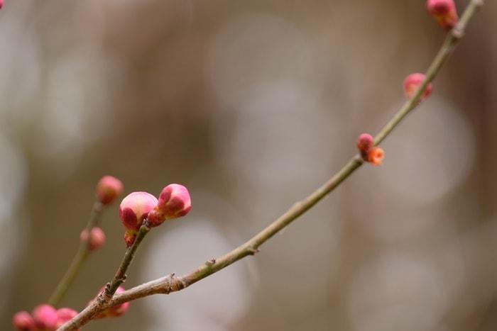 京都府立植物園の梅 内裏 画像