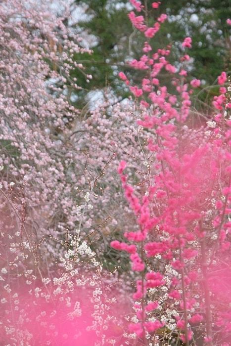 京都府立植物園 梅 鹿児島 満開画像