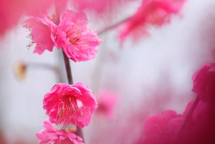 京都府立植物園 梅 鹿児島 画像