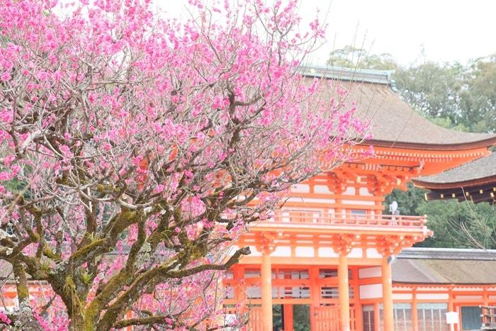 下鴨神社光琳の梅と楼門 画像