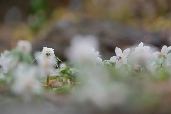京都府立植物園 セツブンソウ 画像