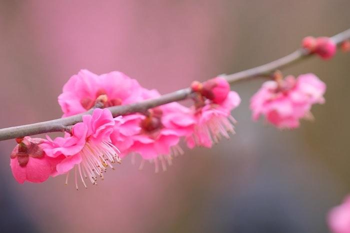 京都 梅の撮影スポット 植物園