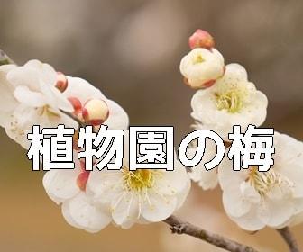 京都・梅の撮影スポット 植物園