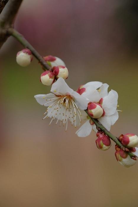 京都府立植物園 梅(玉牡丹) 画像