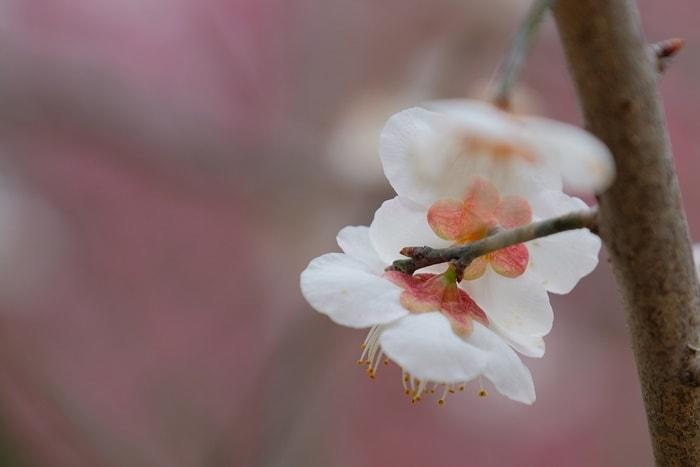 京都府立植物園の梅 玉牡丹画像