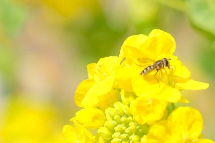 梅小路公園 菜の花とみつばちの撮影スポット