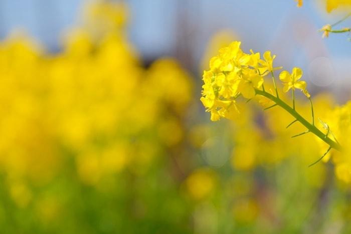 梅小路公園 菜の花の撮影スポット