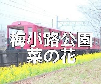 京都・菜の花の撮影スポット・梅小路公園