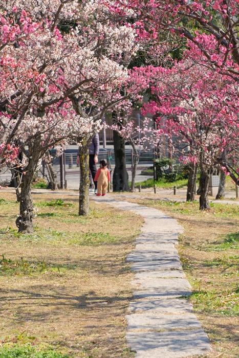 フォトジェニックな梅小路公園の梅のこみち画像
