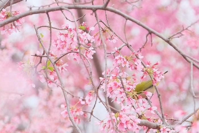 長楽寺のオカメ桜とメジロ撮影スポット