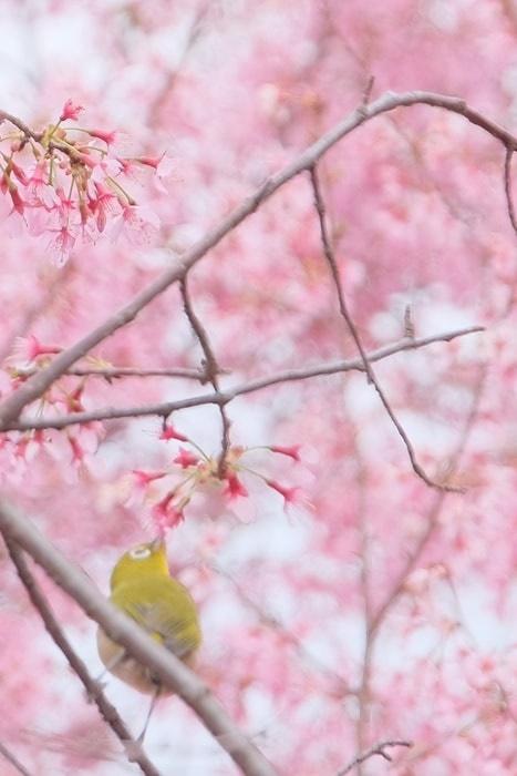 長徳寺のオカメ桜とメジロ