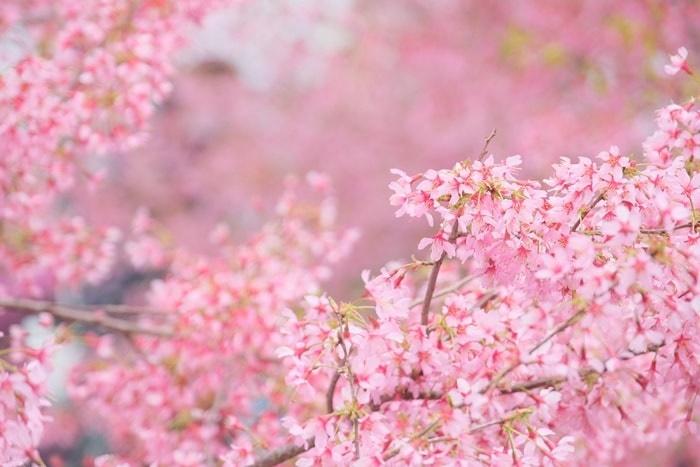 長楽寺のオカメ桜撮影スポット