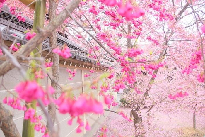 長徳寺 寒緋桜とオカメ桜の撮影スポット