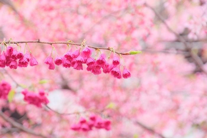 長徳寺の寒緋桜 撮影スポット