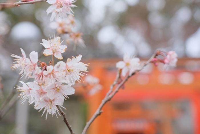 平野神社の桃桜の撮影スポット