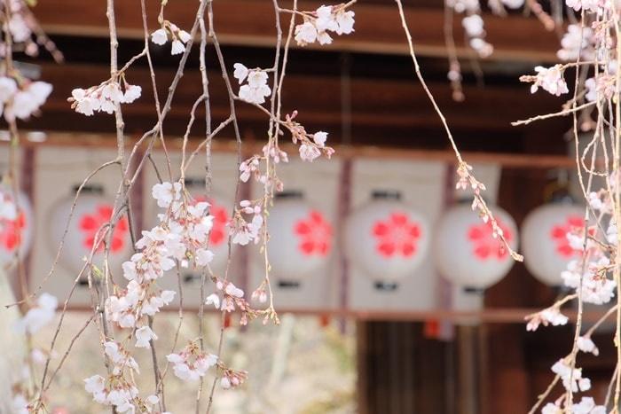 京都桜の撮影スポット 平野神社