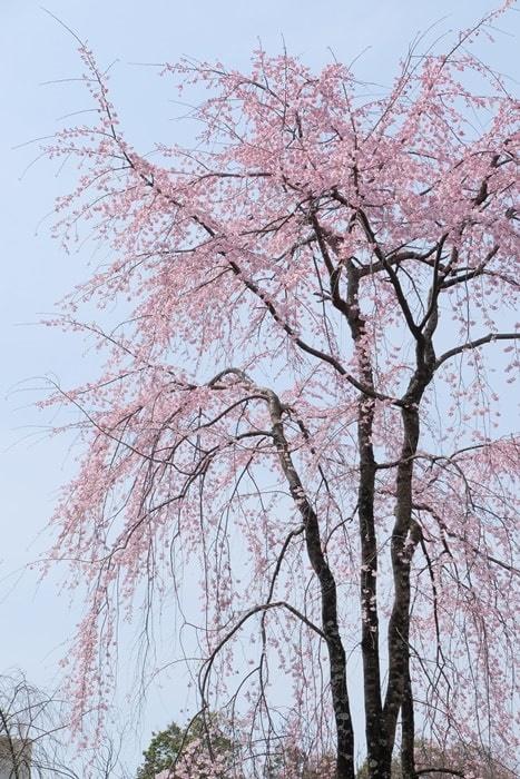 平野神社の桜の撮影スポット 桜苑