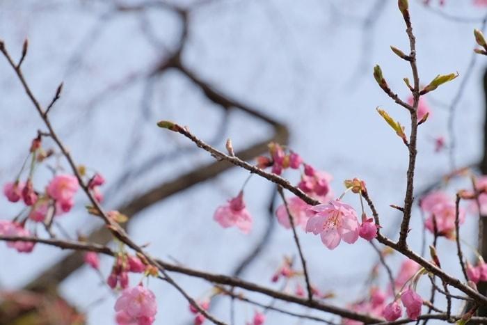 平野神社の桜の撮影スポット 陽光