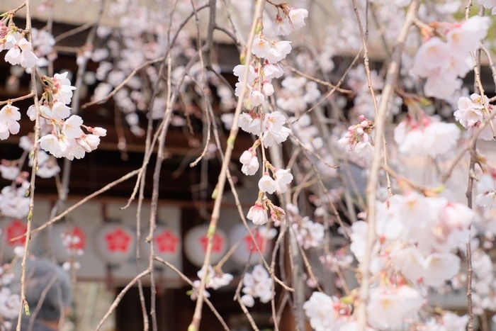 平野神社の桜の撮影スポット 魁