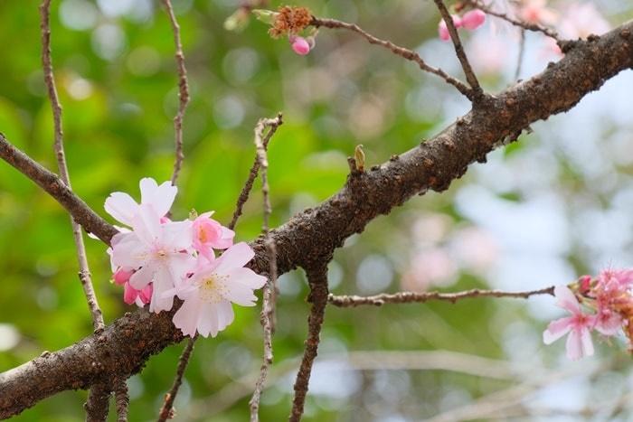 平野神社の撮影スポット 10月桜