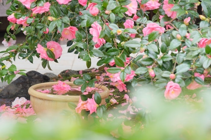 地蔵院(椿寺)の椿の撮影スポット