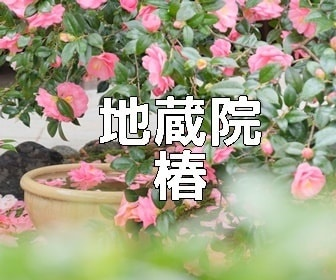 京都・椿の撮影スポット 地蔵院