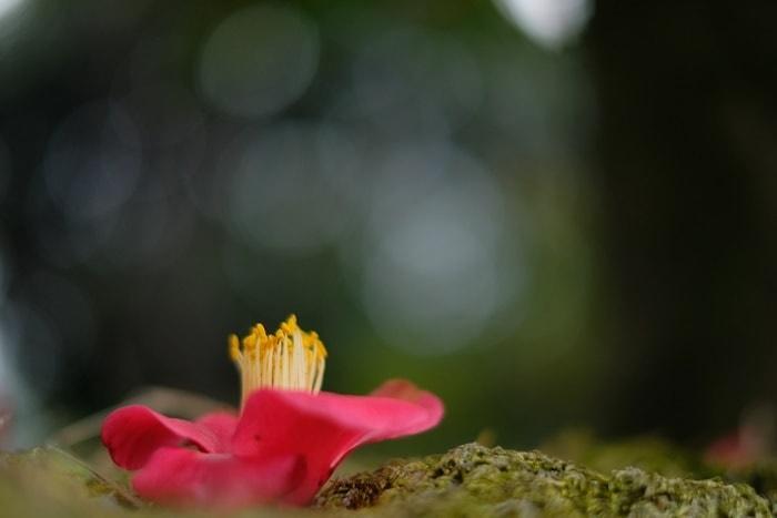 城南宮 椿の撮影スポット