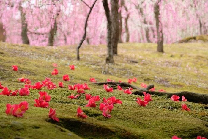 城南宮 椿の撮影スポット しだれ梅と落ち椿