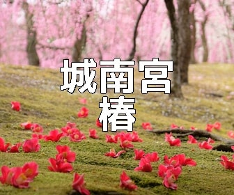 京都・椿の撮影スポット 城南宮の椿