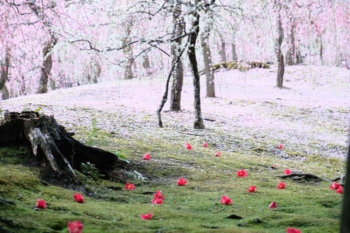 城南宮しだれ梅と落ち椿 花びらが積もる春の山