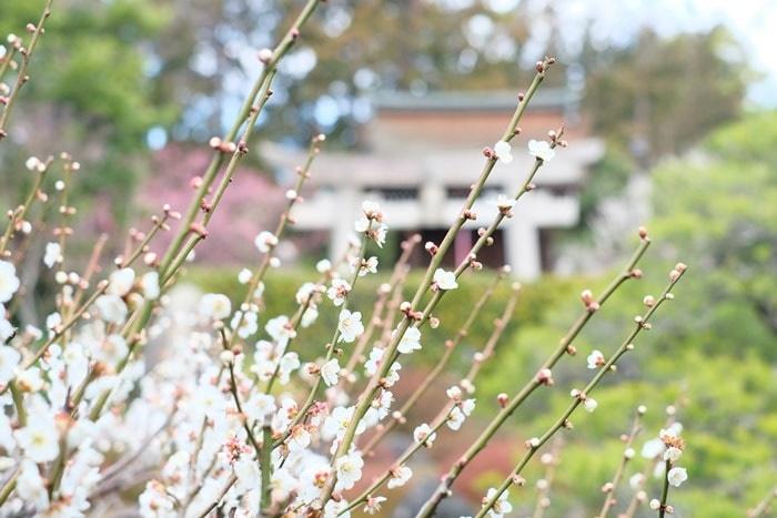 城南宮 鳥居を背景にした梅野撮影スポット