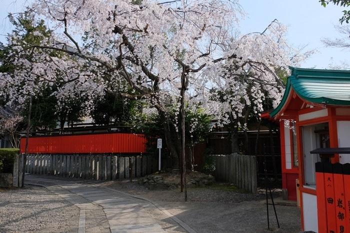 車折神社の撮影スポット 渓仙桜