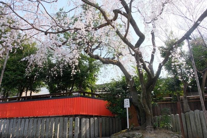 車折神社の桜撮影スポット 渓仙桜