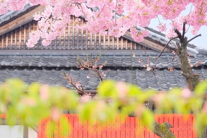 車折神社の東鳥居の河津桜撮影スポット