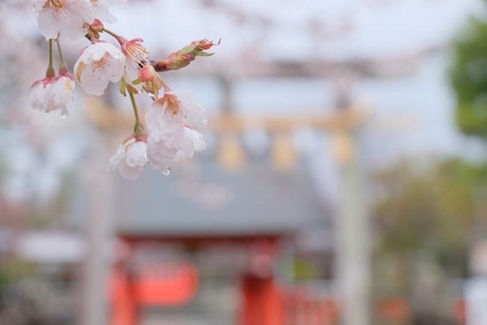 車折神社 清少納言社前の寒桜