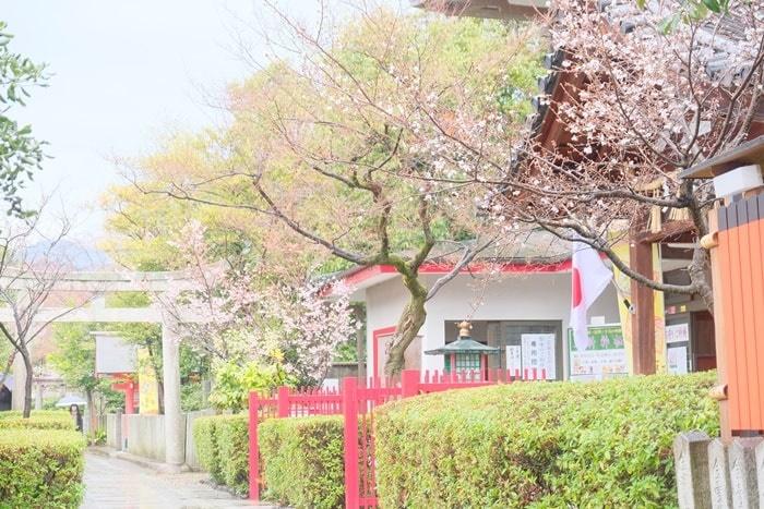 車折神社 社務所前の冬桜