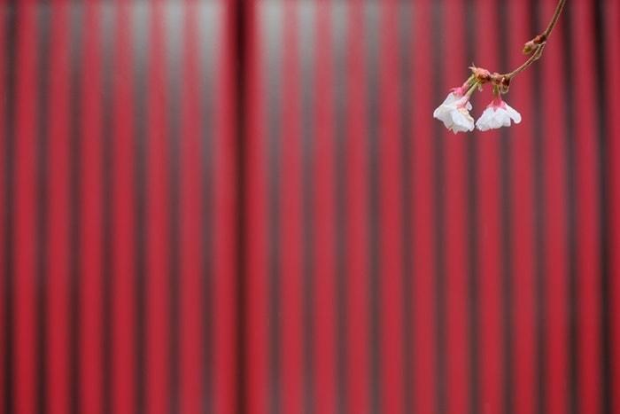 車折神社 社務所前の冬桜 撮影スポット