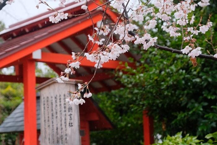 車折神社 寒桜の撮影スポット
