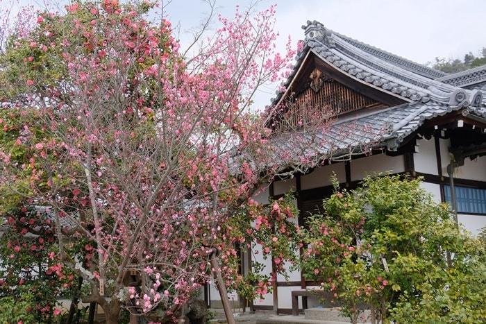 霊鑑寺の椿撮影スポット 入ってすぐの椿