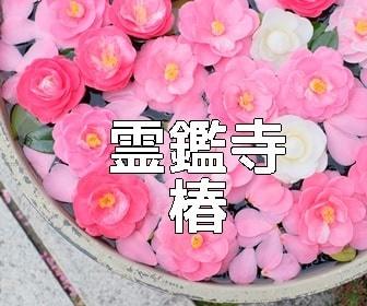 京都・椿の撮影スポット 霊鑑寺