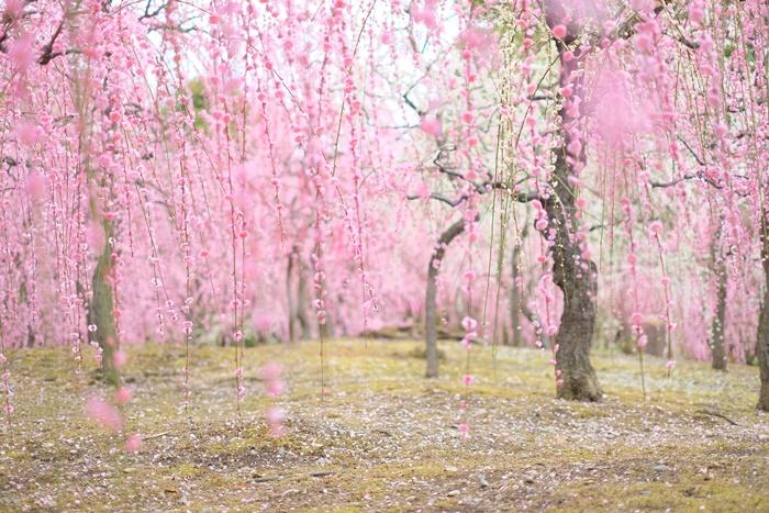 京都 しだれ梅の撮影スポット 城南宮