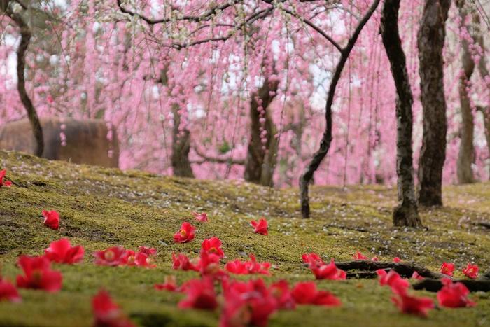 城南宮 しだれ梅と落ち椿の撮影スポット