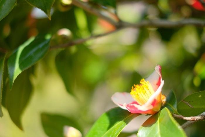 松花堂 椿 祝の盃 写真