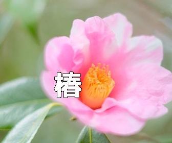 京都 椿の撮影スポット