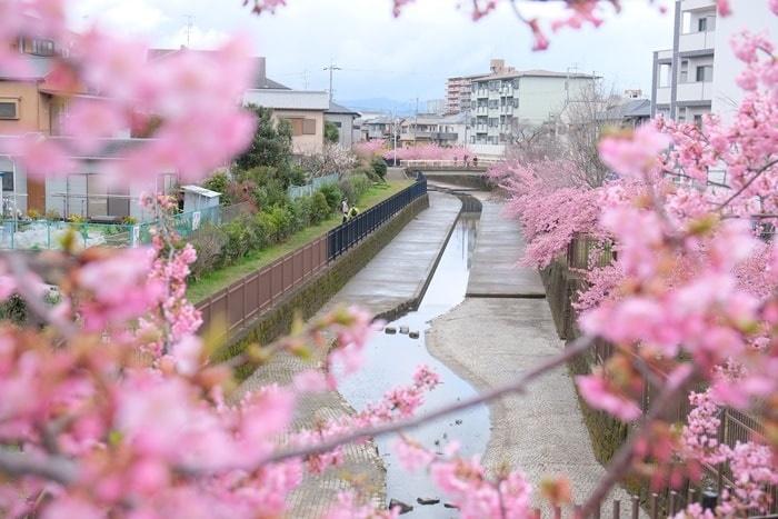 孫橋から撮った淀水路の河津桜