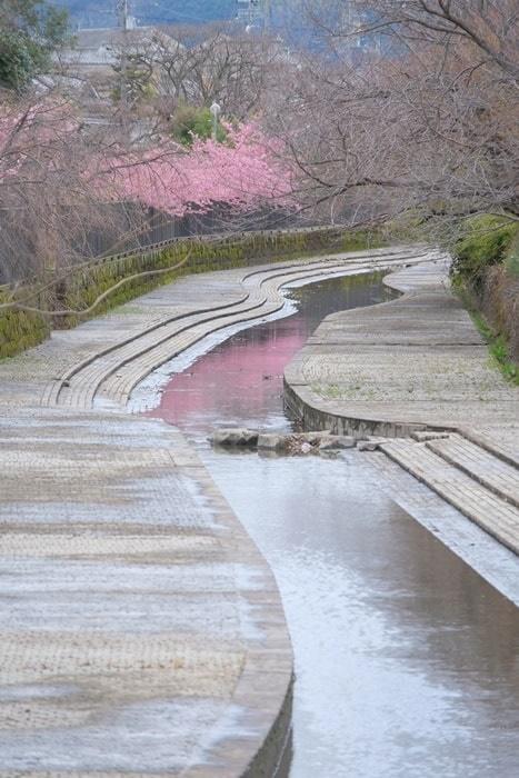 淀水路の水にピンクに映る河津桜