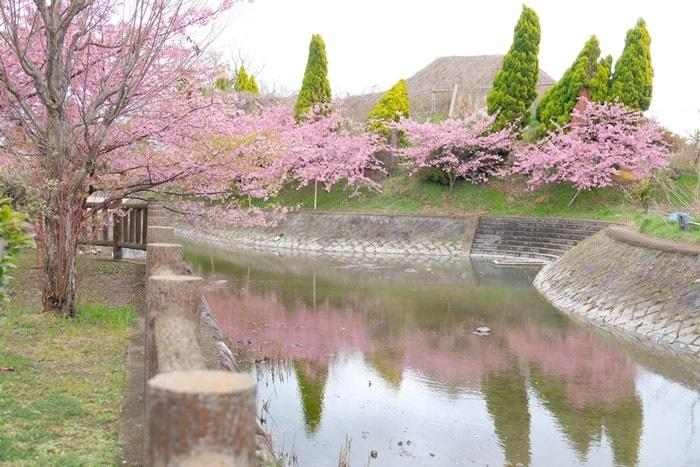 淀水路の水にリフレクションする河津桜