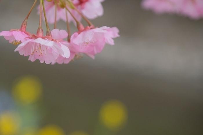 菜の花の玉ボケと淀水路の河津桜