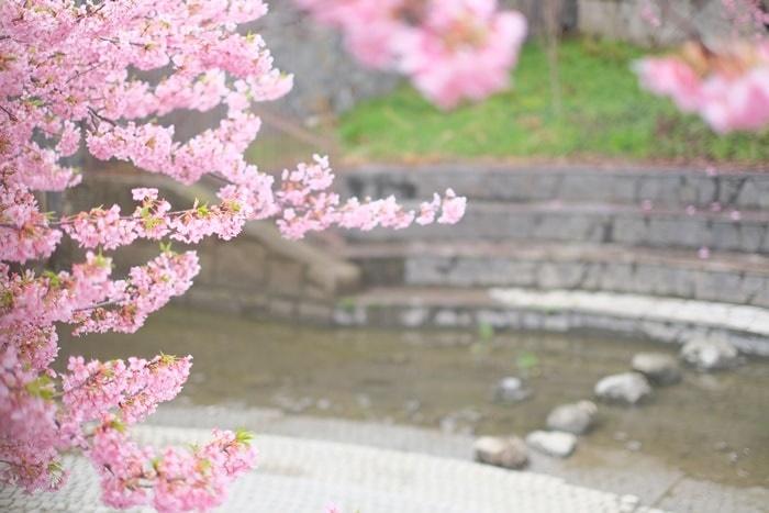淀水路と河津桜の撮影スポット