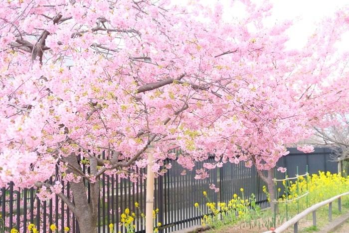 淀水路の河津桜と菜の花の撮影スポット